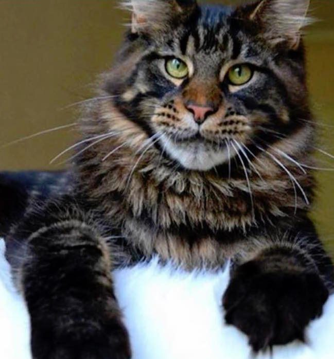 Carolina Maine Coon