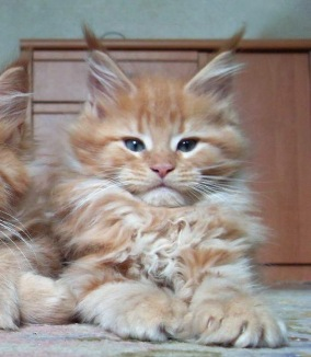 Willa baby-Carolina Maine Coons