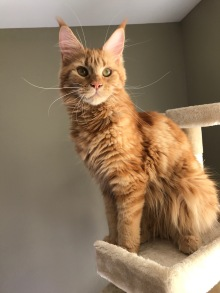 willa2-Carolina Maine Coons