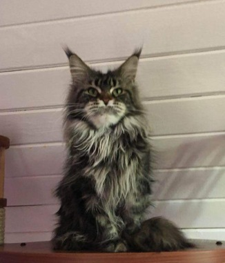 Xara Mom-Carolina Maine Coons