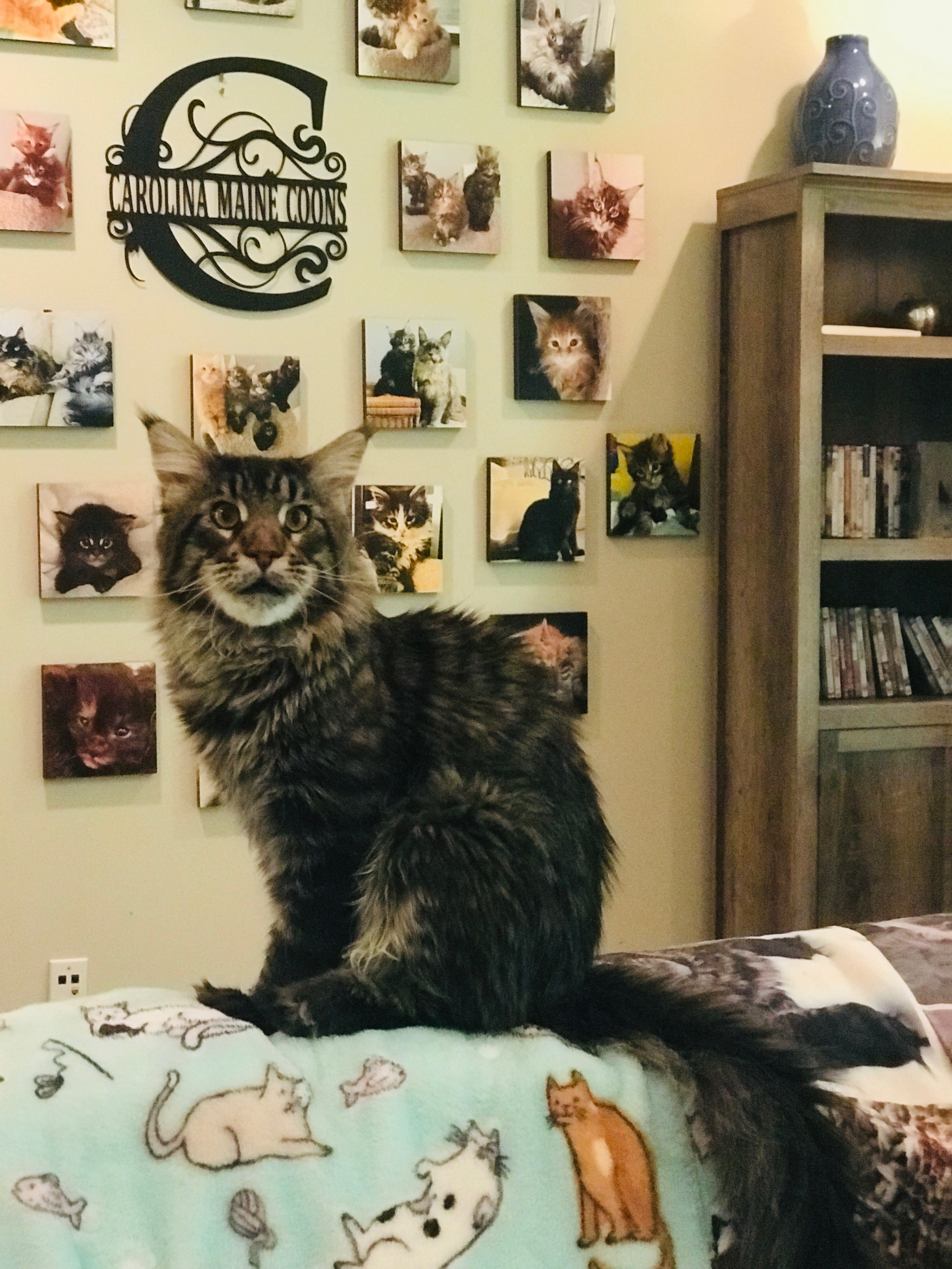 Carolina Maine Coon – Maine Coon Cats and Kittens